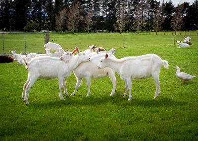 the-drunken-nanny-goats-cheese-04