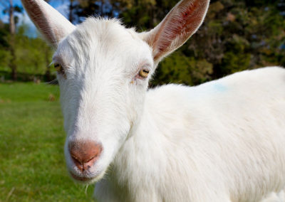 the-drunken-nanny-goats-cheese-05