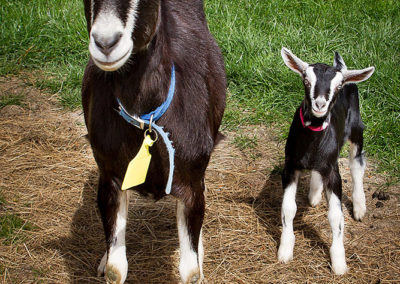 the-drunken-nanny-goats-cheese-07