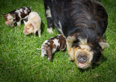 the-drunken-nanny-goats-cheese-12